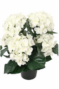 Bilde av Hortensia i potte - hvit